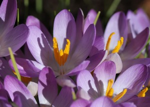 Purple Snow Crocus