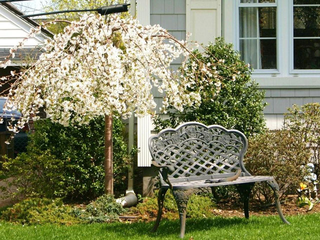 Snow Fountain Cherry Tree