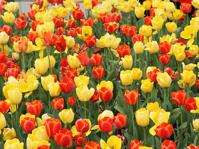 Orange & Yellow Tulips Flowering Bulbs
