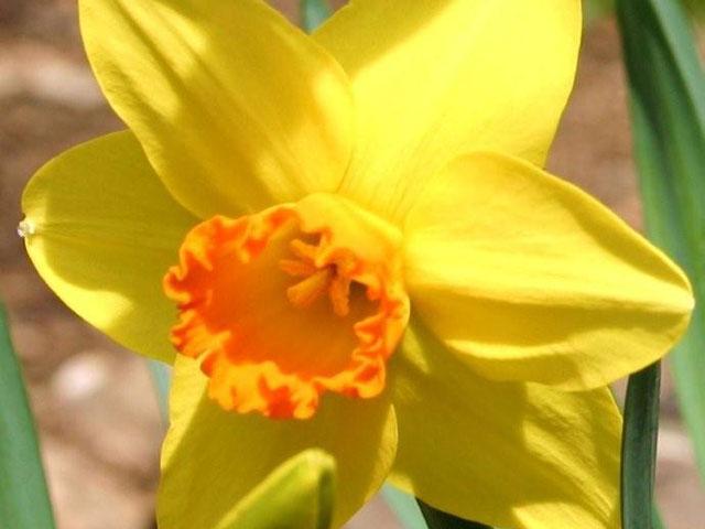 Orange & Yellow Daffodil