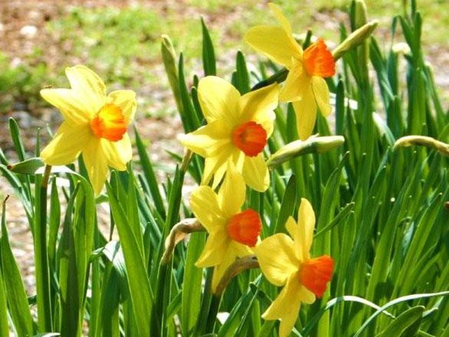 Orange & Yellow Daffodils